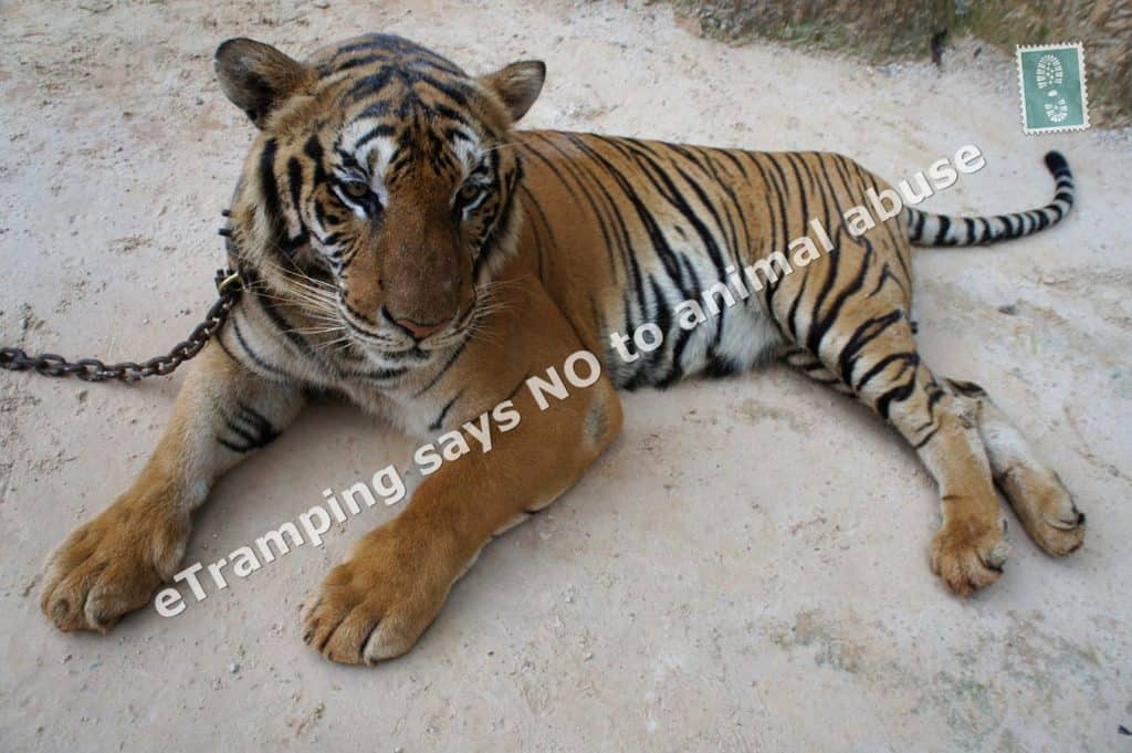 Image Result For China Wild Tigers In Thailanda