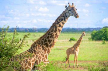 Giraffe