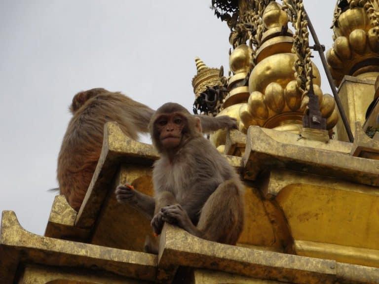 Monkeys you can spot in Kathmandu