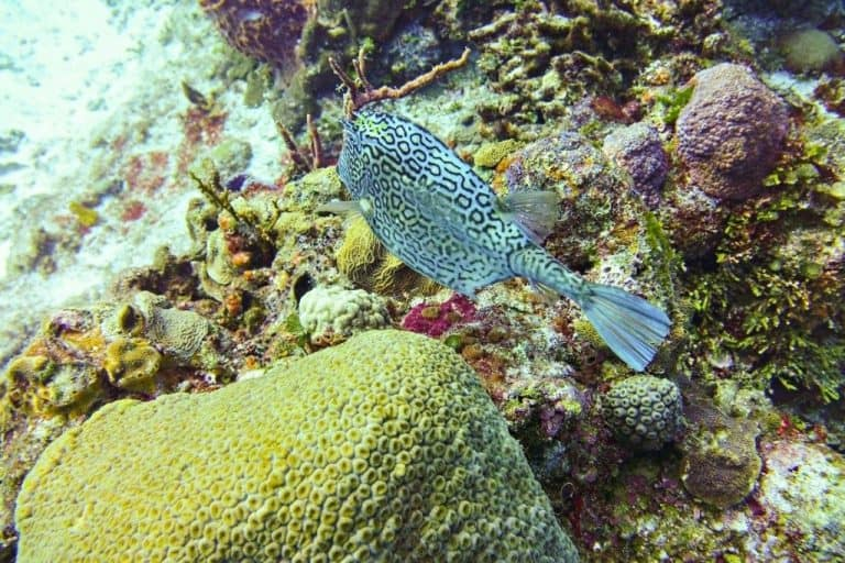 Spotted Cowfish Cozumel
