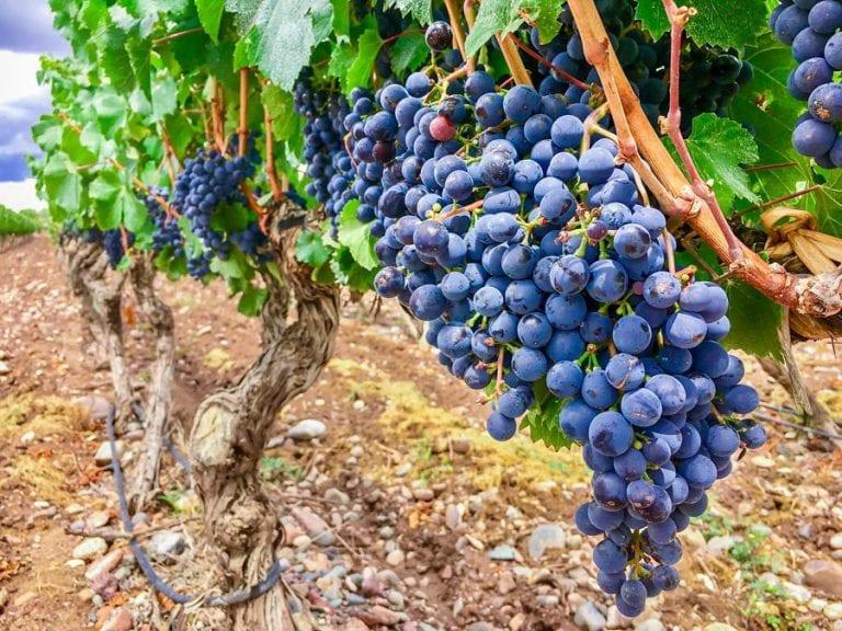 Travel Mendoza Winery Vineyard Grapes